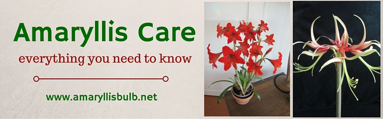 Amaryllis Flower and Bulb Care