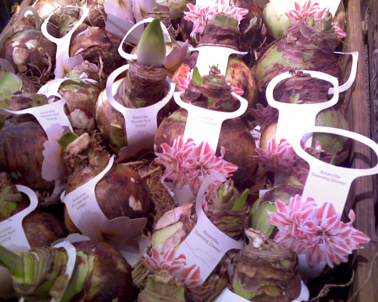 Care of amaryllis bulbs discount amaryllis bulbs amaryllis bulbs for sale izmirmasajfo